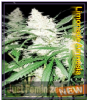 Dispensario Amnesia Limonade Fem 10 Weed Seeds